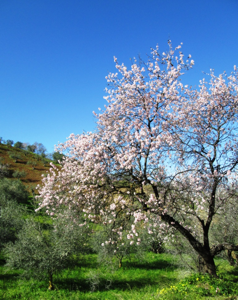 Almond blossom Guaro
